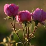 Rosenwasser zum Backen