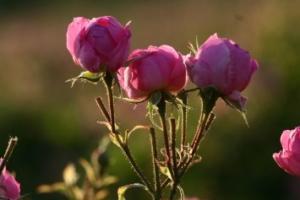 Rosenwasser kaufen
